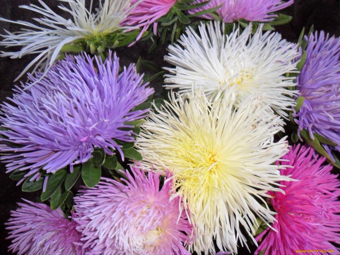 Фото цветок астра игольчатая